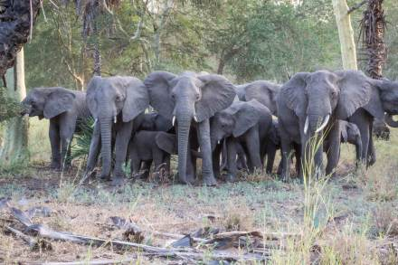 African-Elephant-herd-Gorongosa-National-Park-Mozambique