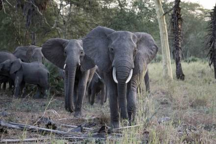 Charging-African-Elephant-Gorongosa-National-Park-Mozambique