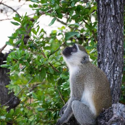 Mozambique-Vervet-Monkey