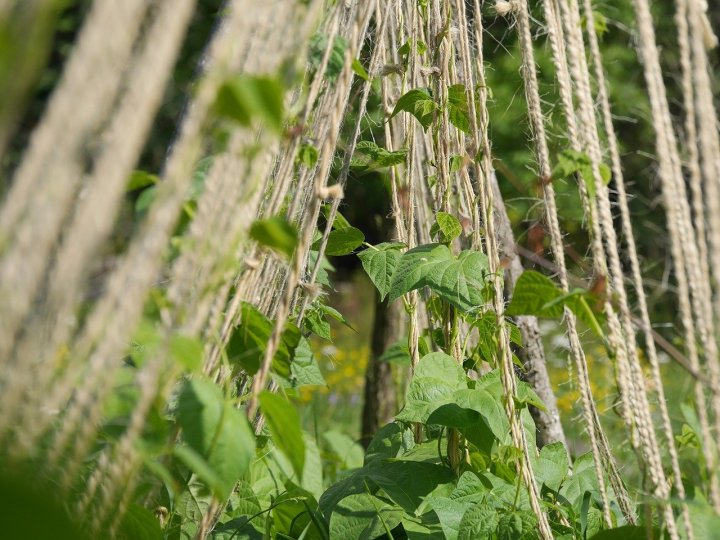 A bean trellis in a garden, with twine strings and beans beginning to grow up them.