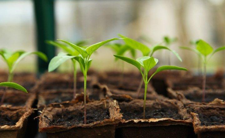 A tray of seedlings in peat pots.