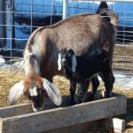 Goat mom and baby eating mineral in a wooden trough