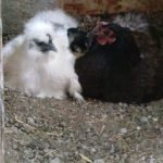 A white hen and a black hen