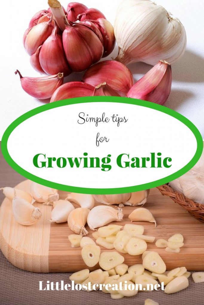 Red and white garlic cloves and bulbs. Simple tips for growing garlic