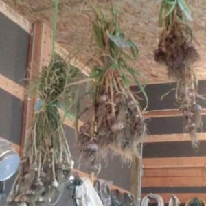 3 bundles of garlic hanging.
