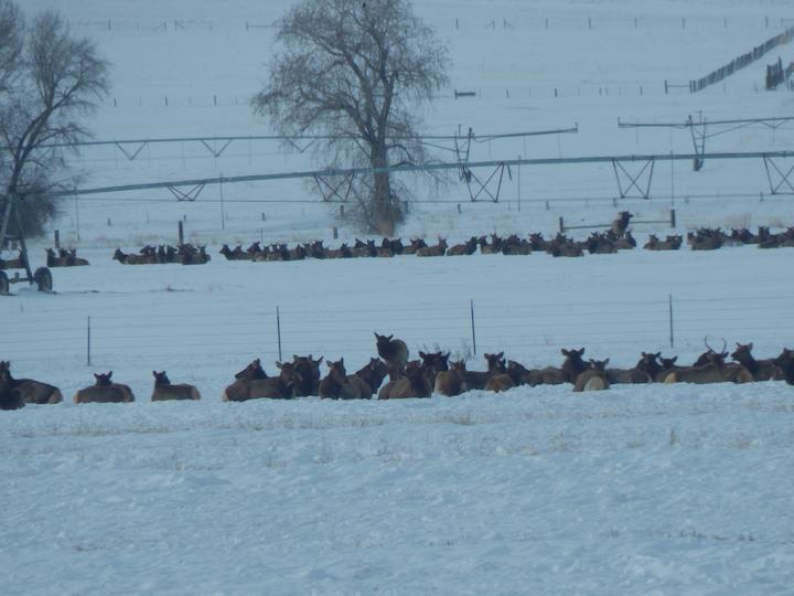 elk bedded down on fence lines