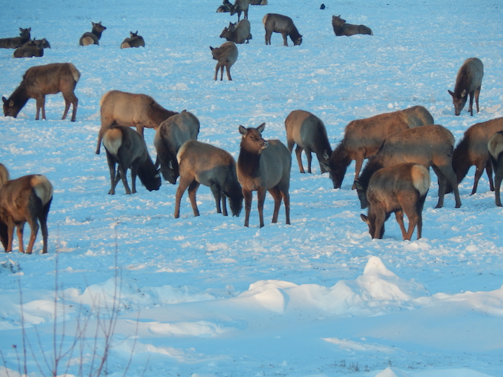 Calves and yearling elk