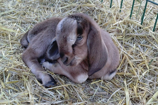 Little brown baby goat
