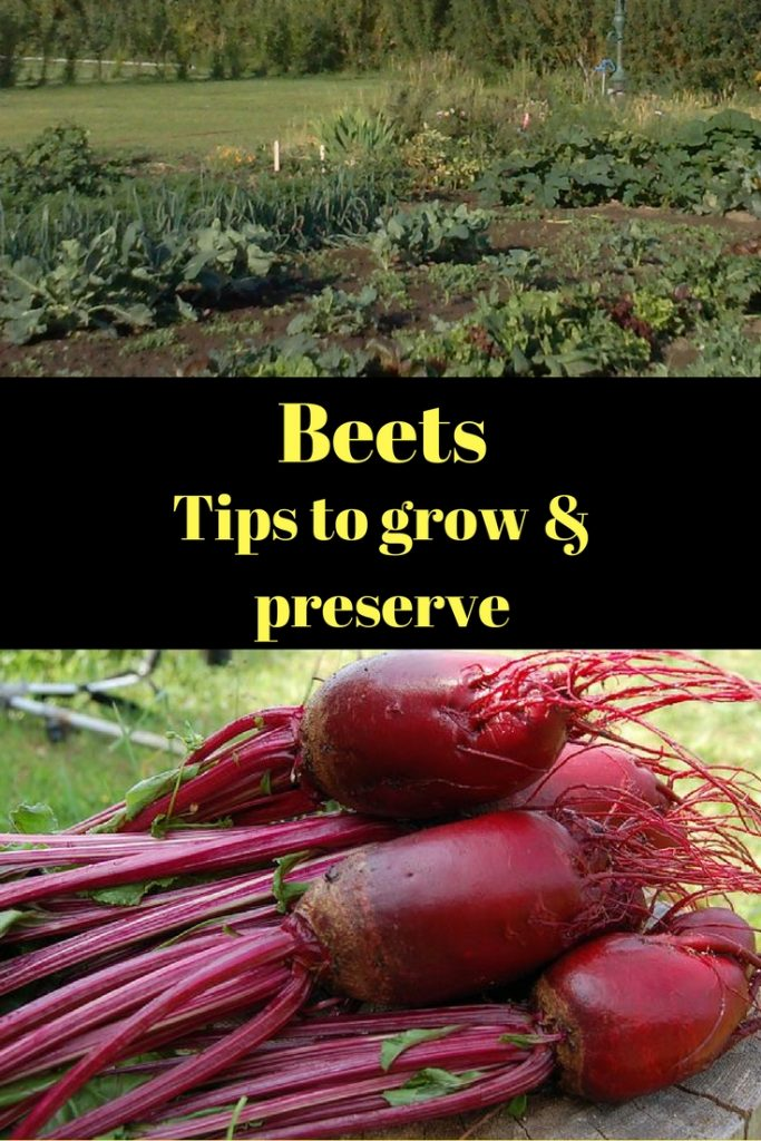 Beets tips to grow and preserve, garden and fresh beets.