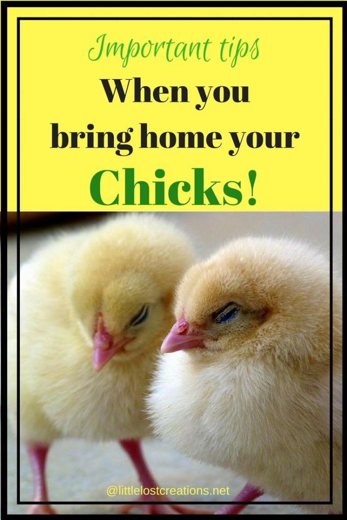 Two fuzzy baby chicks. Important tips when you bring home baby chicks.