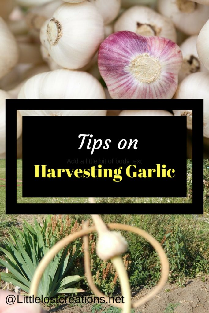 Tips on Harvesting Garlic, garlic bulbs, dried garlic scape
