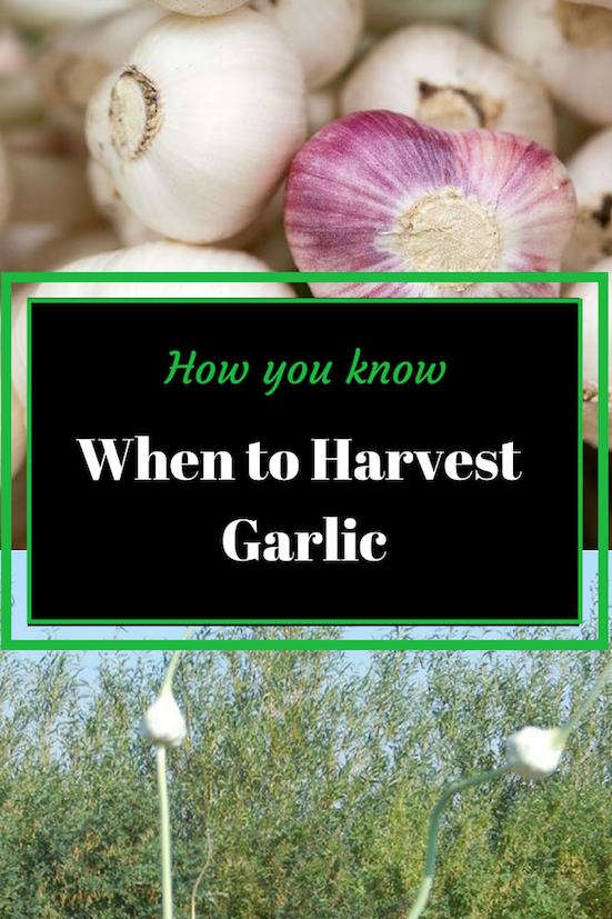 How do you know when garlic is ready to harvest