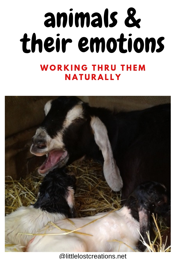 Animals and their emotions, working thru them naturally, nanny goat and her 2 new kids