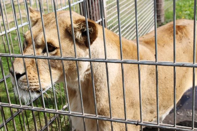 Kala the lion