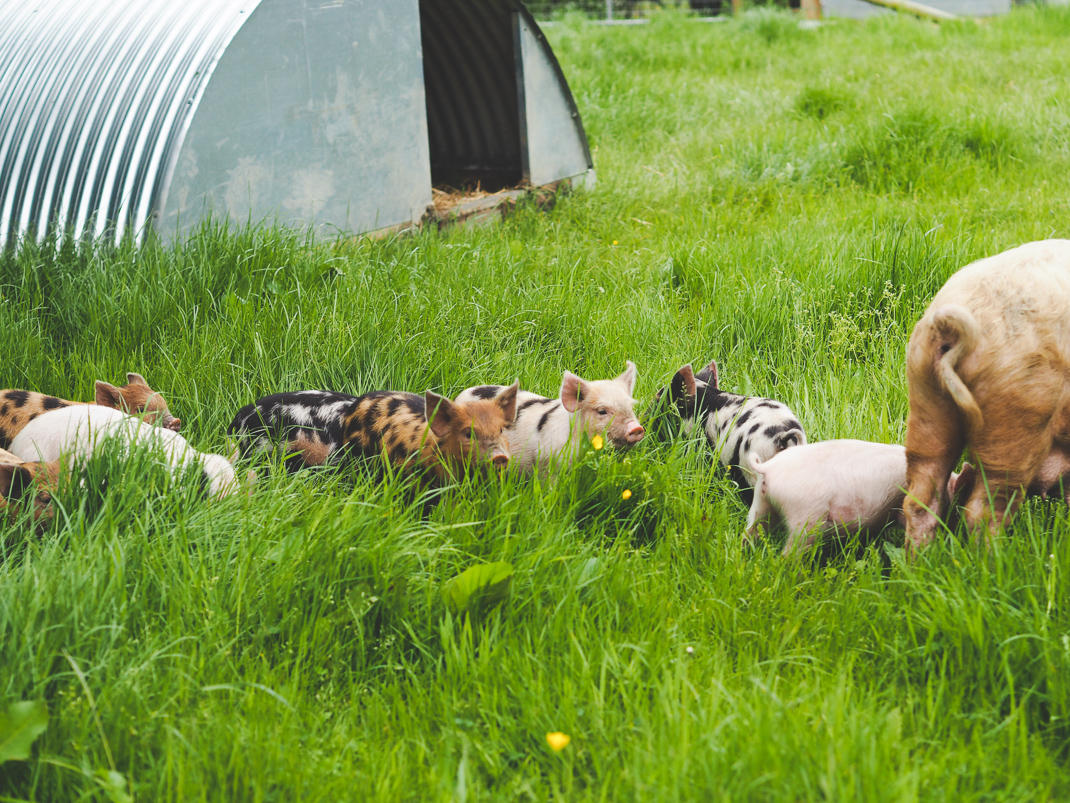 piglets at The Pointer farm in Brill