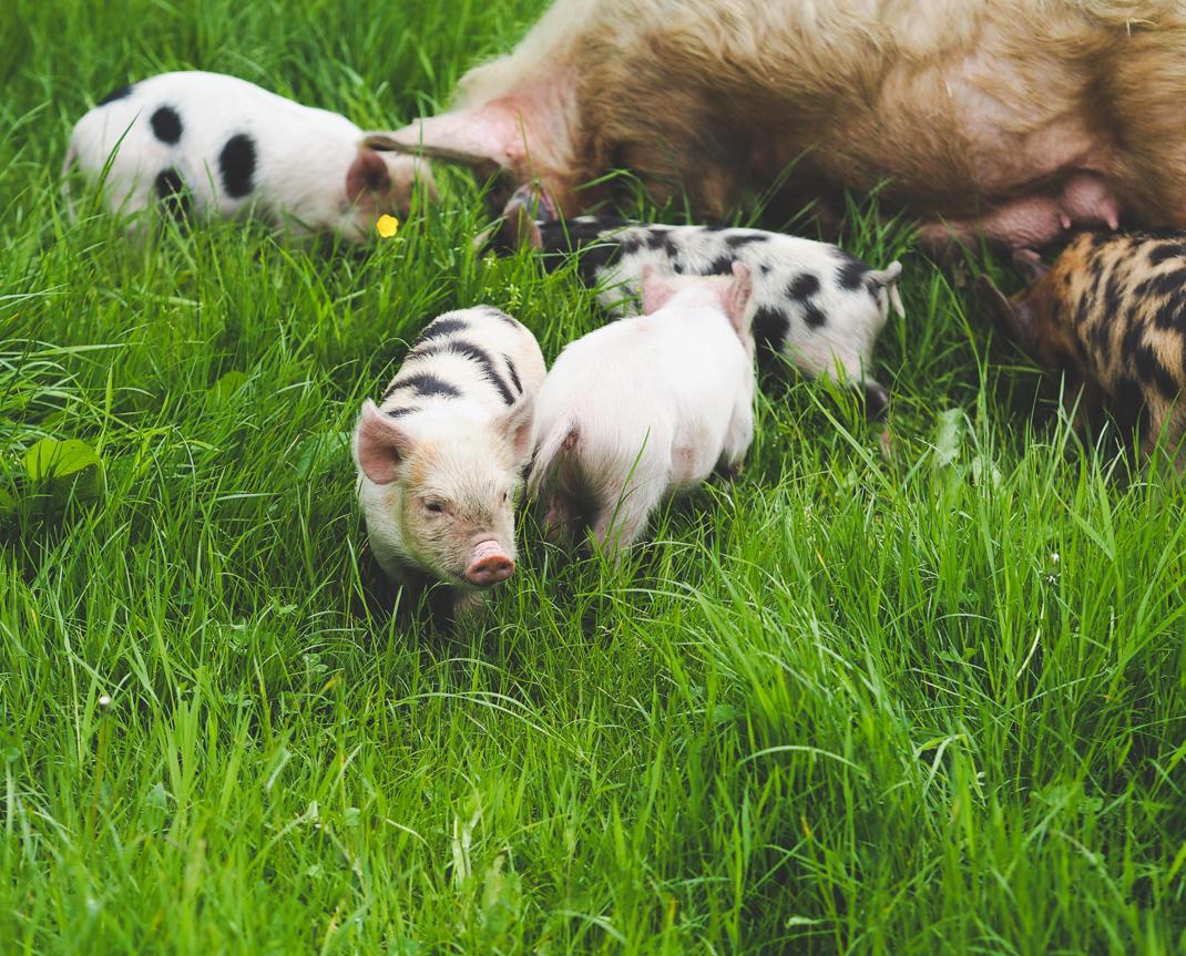 farm piglets