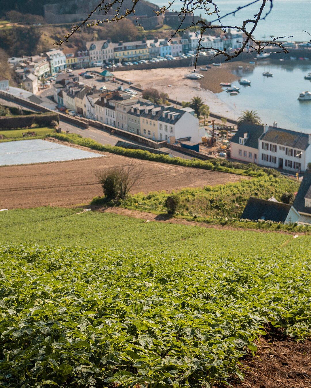 Jersey Royal potato fields