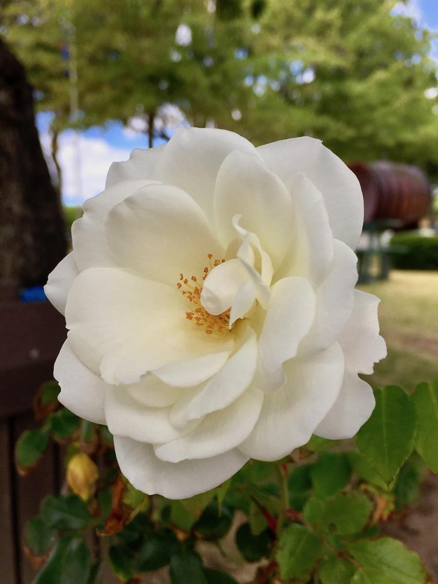 Blooming rose at Groot Constantia