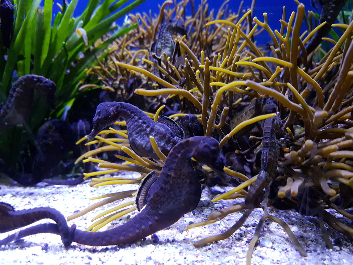 Seahorses at Two Oceans Aquarium Cape Town