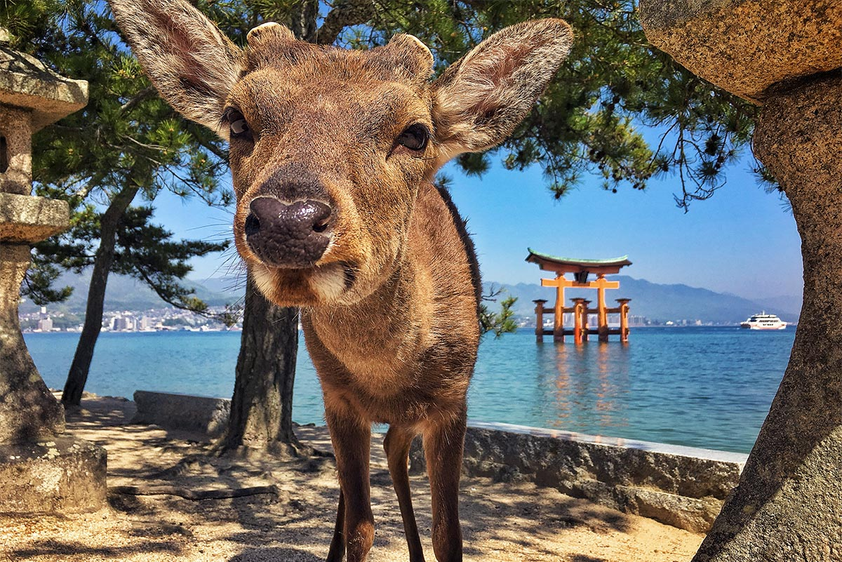 Miyajima Island in a wheelchair | Little Miss Turtle | Wheelchair Travel Blog