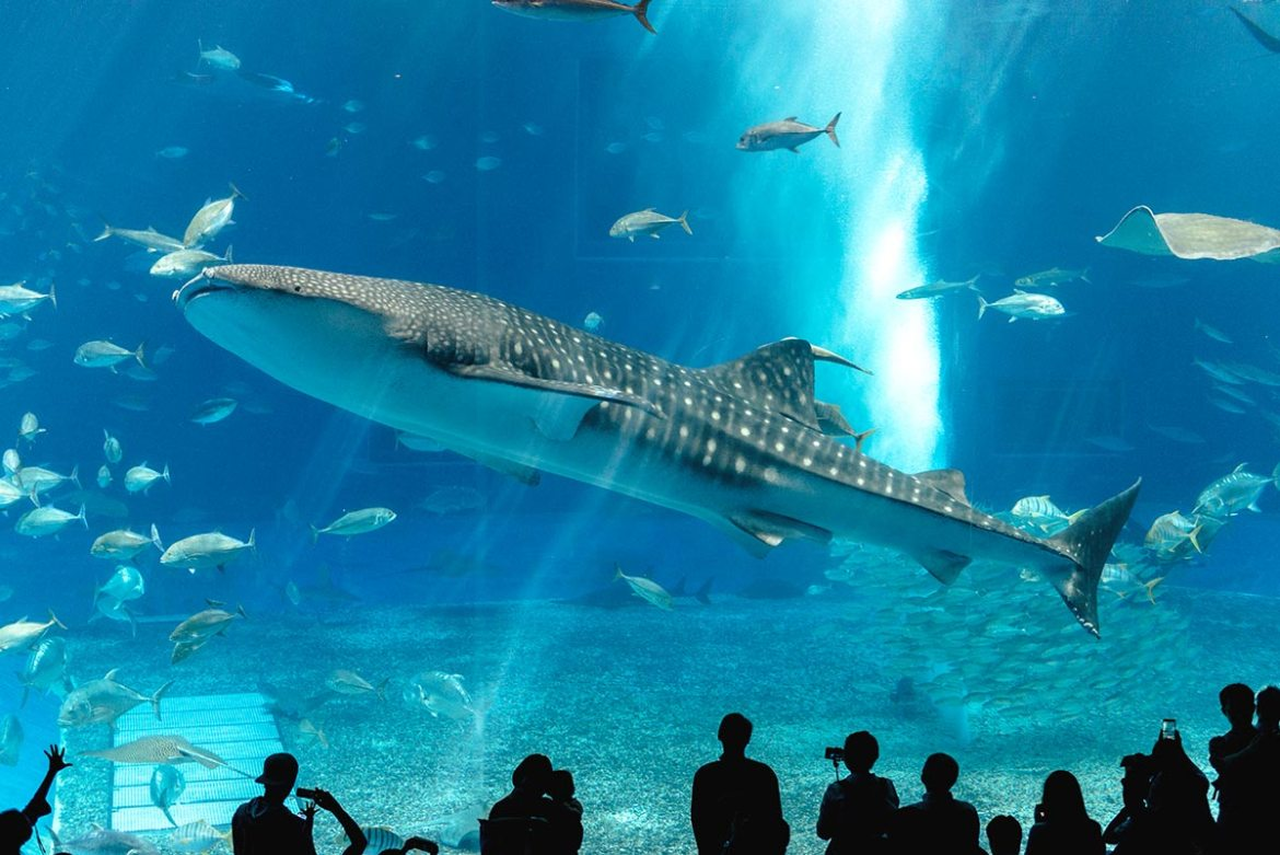 Whale shark at the Churaumi Aquarium Okinawa | Little Miss Turtle | Wheelchair Travel Blog