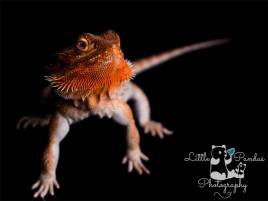 Photographer Hythe Kent pet bearded dragon