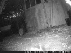 Fox cub sniffing