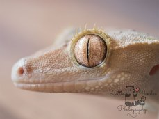Crested gecko eye close up