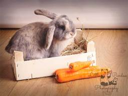Rabbit in crate with carrots
