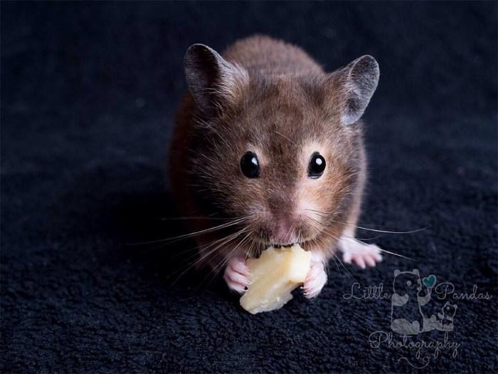 black syrian hamster eating cheese
