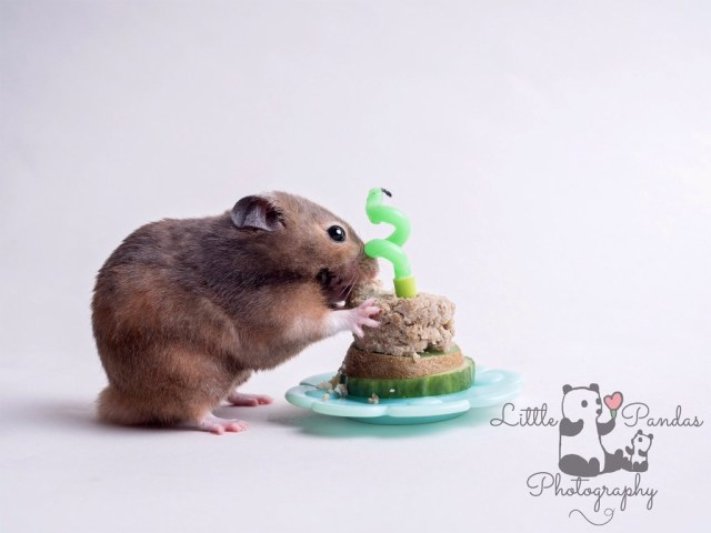 Hamster eating cake cake smash for pets