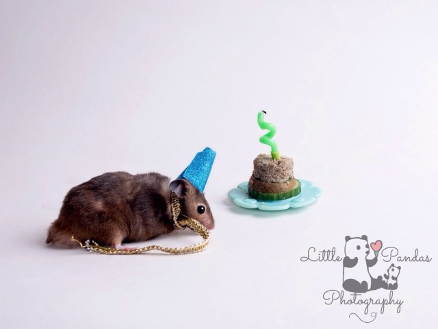 Black hamster in party hat