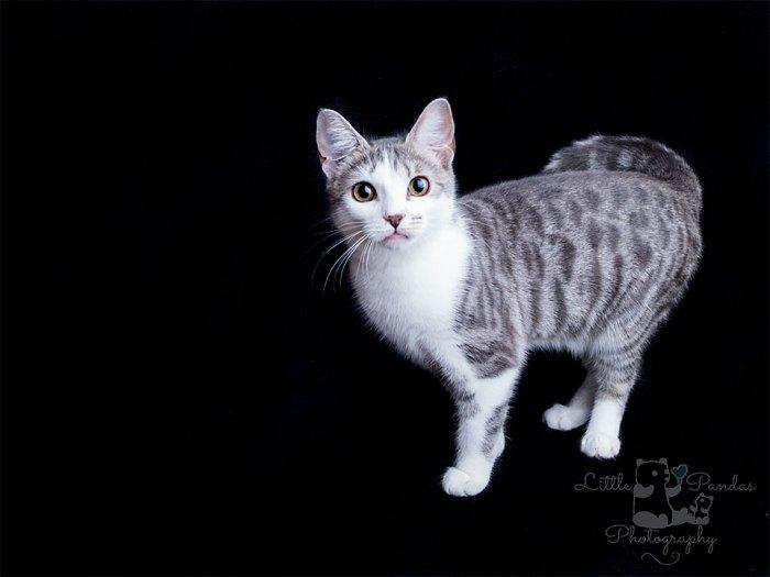 Grey and white tabby kitten cute