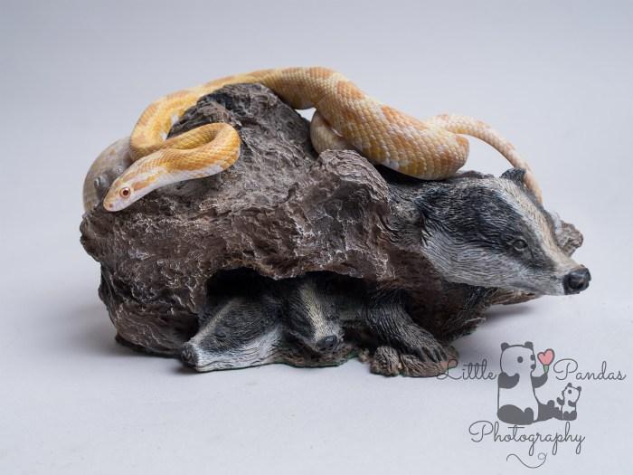 yellow and white corn snake