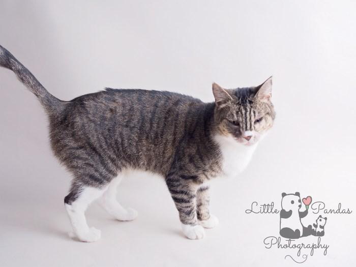 Big female tabby cat