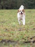 king charles spaniel running