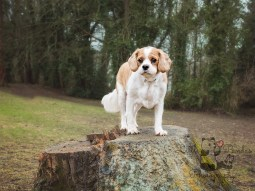 King Charles spaniel standing on tree stump