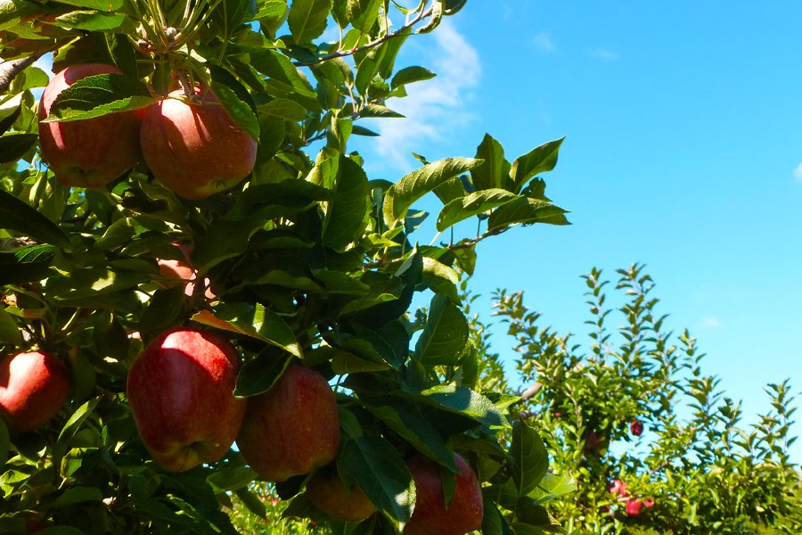 Apple Trees 2