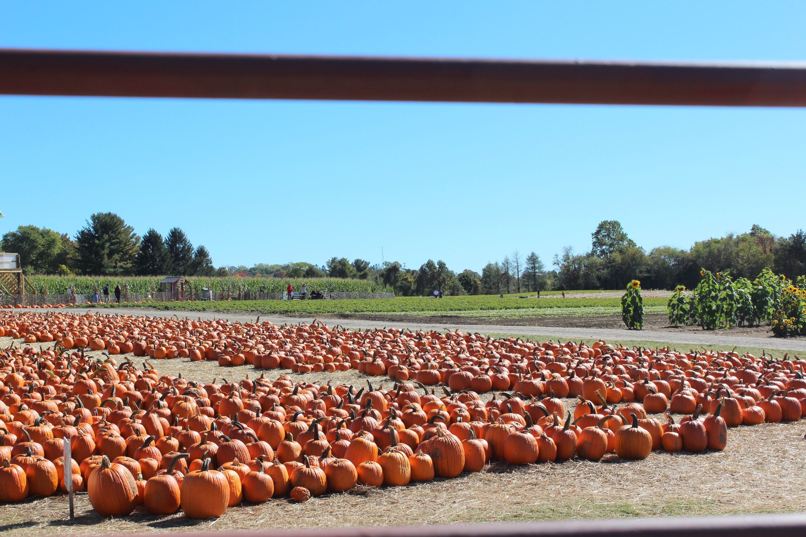 pumpking picking jones family farms shelton connecticut things to do in connecticut this fall little things olga blog