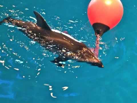 Dolphin, Shedd Aquarium