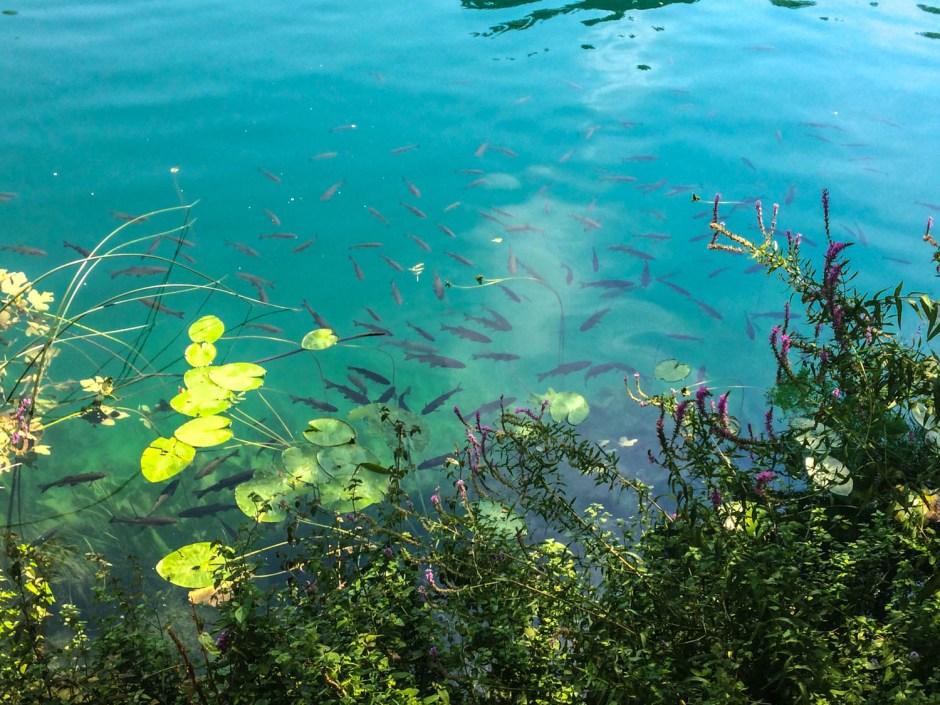 Fish at Krka National Park