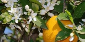 Душистая апельсиновая вода