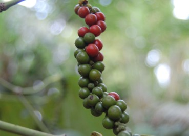 PepperCorns on Creeper, South Sri Lanka Tour, Independent Travel, Asia