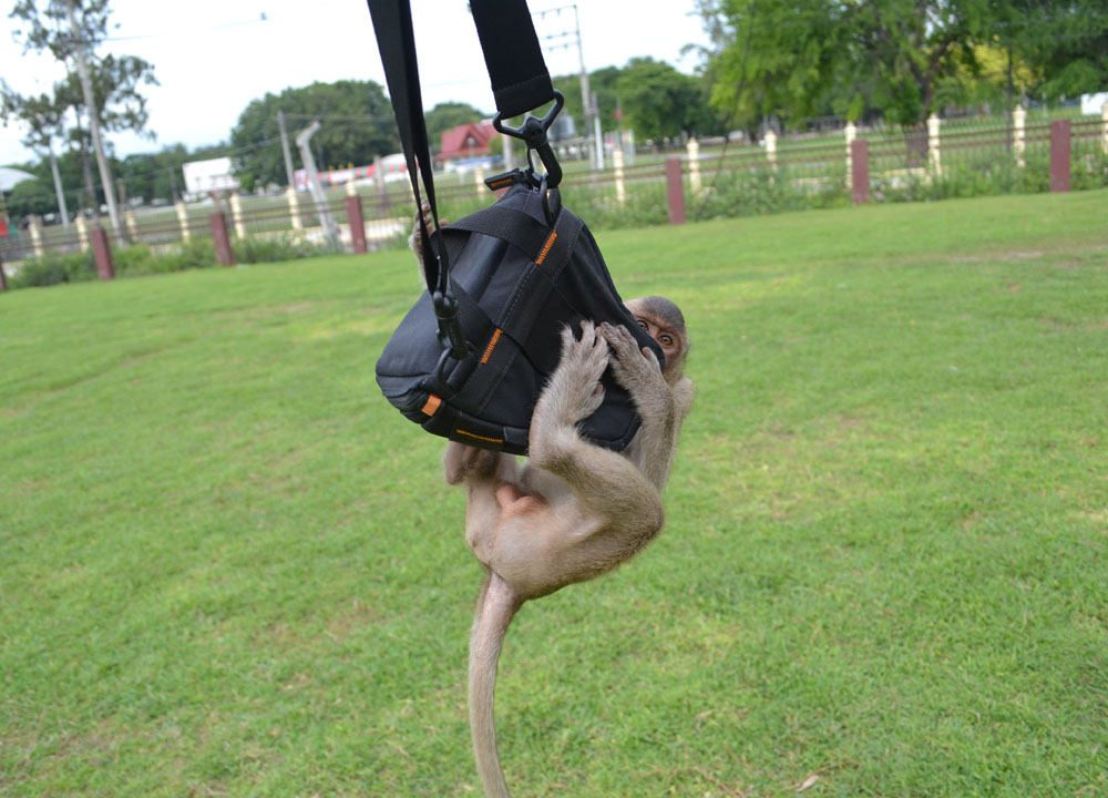 Swinging Monkey, Lopburi Monkey Town in Thailand, Southeast Asia