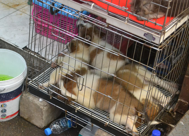 Caged Dogs, Animal Cruelty, Pets at JJ Market Bangkok, Southeast Asia