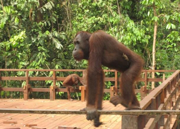 Daddy Sepilok Orangutan Sanctuary, Borneo Eco-Tourism Sabah Malaysia