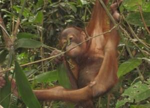 Young Sepilok Orangutan Sanctuary, Borneo Eco-Tourism Sabah Malaysia