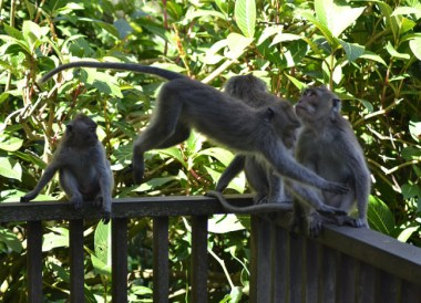 Monkeys at Alila, Escape Tourism in Ubud Cultural Capital of Bali