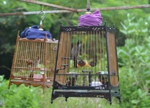 Bulbub Caged Bird Thailand, Low Season in Krabi, Thailand, Asia