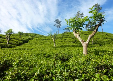 Ella Tea Plantation, South Sri Lanka Tour, Independent Travel Asia
